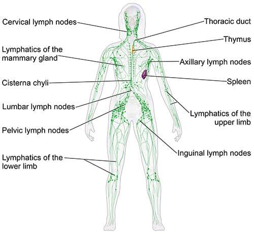 Qigong-sistema-linfatico2
