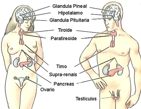 obesógenos - sistema endocrino